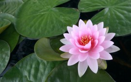 6897064-lotus-flower-pictures