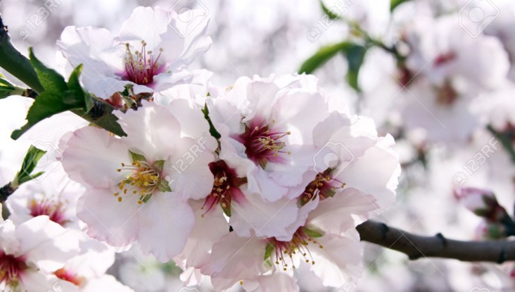 abundant flowering almond trees in the garden